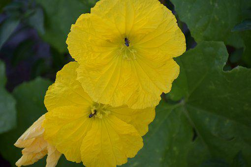 Ridge Gourd Flowers, Two Yellow Flowers, Honey Bees