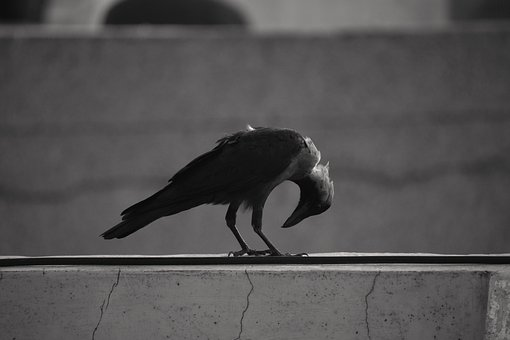 House Crow, Bending Neck, Basking, Grey-necked
