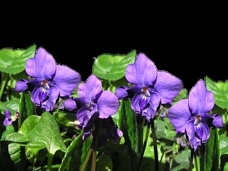 Violet, Flowers, Plant, Cut Out