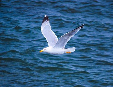 Seagull, Cantabria, Spain, Cantabrico, Coast, Nature
