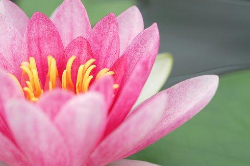 Pink, Flower, Nature, Bloom, Blossom, Spring, Tree