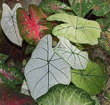 Caladium Garden, Foliage, Garden, Plant, Bulb, Nature