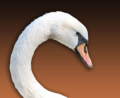 Swan, Animal Shelter, Wild Animal, White, Animal