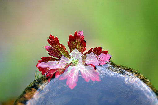 Autumn Foliage, Water Plant, Water, Floating Leaves