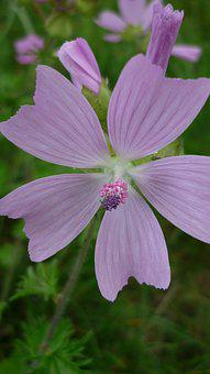 Mallow, Flower, Wild Plant, Small, Blossom, Bloom
