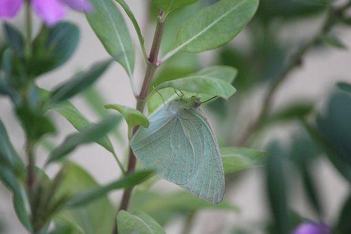 Pieris Rapae, Butterfly, Green, Resting, Plant