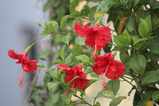 Hibiscus, China Rose, Flower, Red, Plant, Bunch