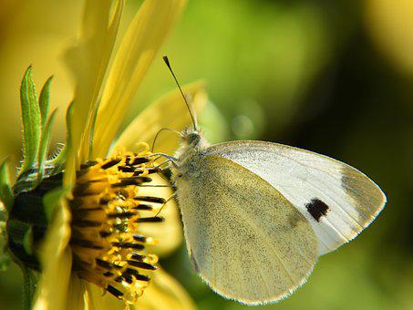 Butterfly, White, Close, Insect, Nature, Yellow, Flower