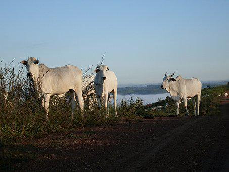 Animal, Cows, White, Livestock, Cattle, Sunrise