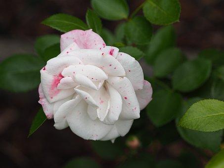 Rose, Love, Greeting Card, Flowers, Romantic