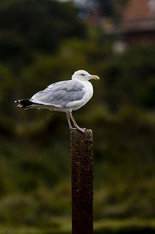 Seagull, Perched, Iron Post, Rusty, Bird, Nature