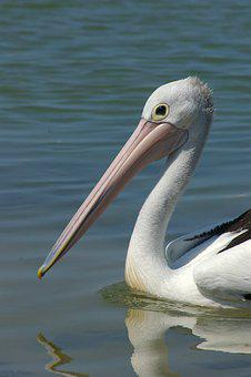 Pelican, Bird, Wildlife, Animal, Ornithology, Waterfowl