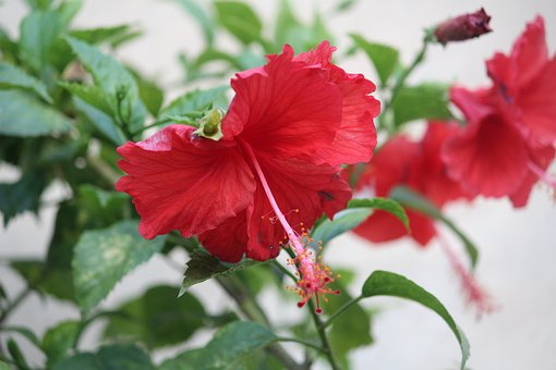 Hibiscus, Flower, Plant, Red
