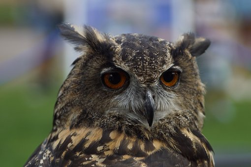 Owl, Portrait, Bird, Nature, Animal, Face, Head, Brown