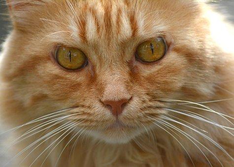 Cat, Red Tomcat, Portrait, Mieze