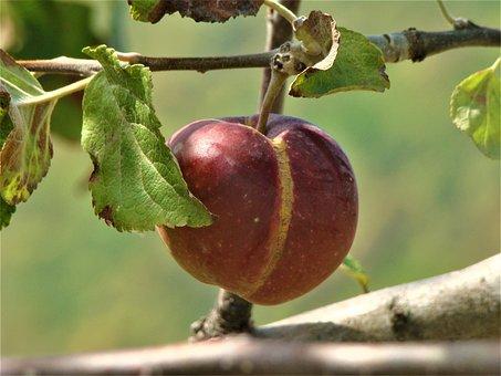 Fruit, Nature, Garden, Fresh, Healthy, Red