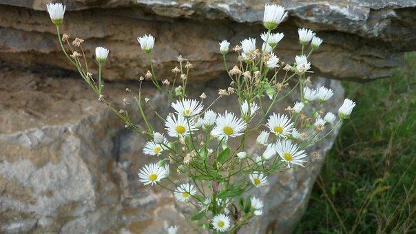 Mountain Aster, Wild Flower, Tiny, White, Flowers, Rock