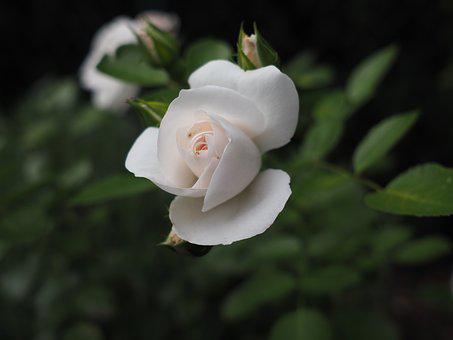 Rose, Love, Romance, Wedding, Romantic, Valentine's Day