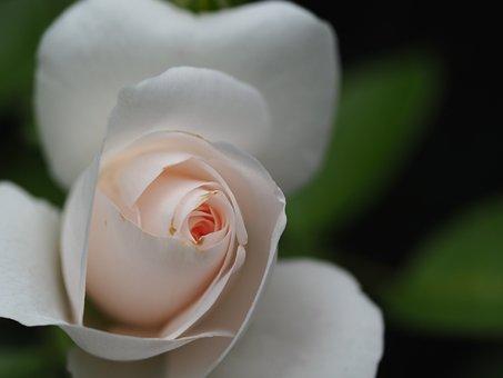 Rose, Love, Flowers, Romantic, Valentine's Day, Blossom