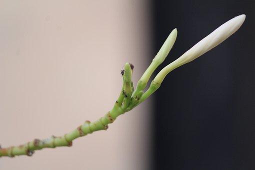 Flower, White, Bud, Ants