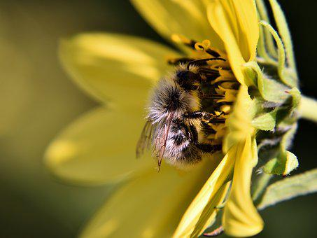 Bee, Blossom, Bloom, Yellow, Close, Pollination, Insect