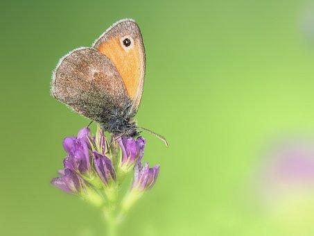 Butterfly, Little Meadow Birds, Macro, Animal, Nature