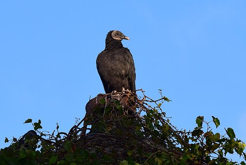 Vulture, Perching, Silo, Looking, Bird, Nature