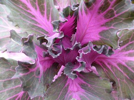 Cabbage, Macro, Purple