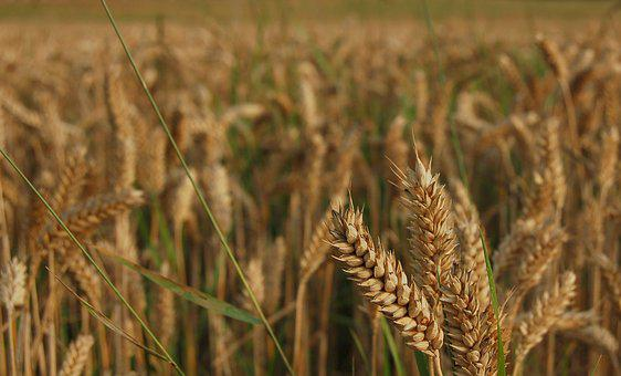 Wheat, Field, Harvest, Autumn, Cereals, Grain