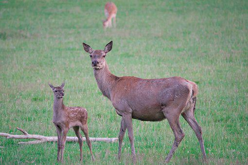 Roe Deer, Fawn, Doe, Young Deer, Wild, Kitz, Nature