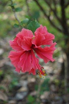 Hibiscus, Nature, Australia, Flower, Red, Tropical