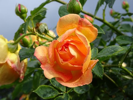 London, Kew Gardens, Flower, Rose, Orange, Sunny Spell