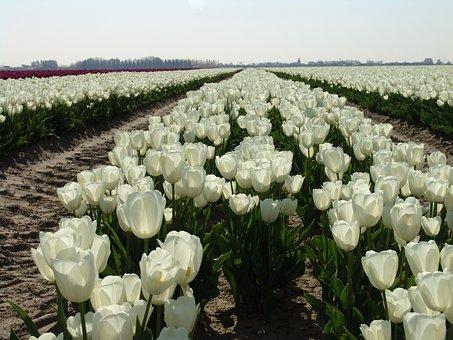 White Tulip, Flower, Tulip, Netherlands, Tulips