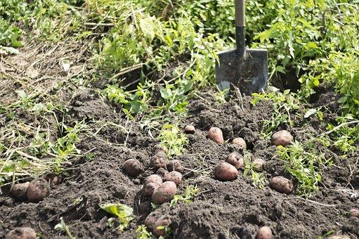 Potatoes, Harvest, Vegetable Garden, Potato, Vegetables