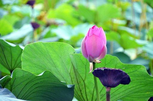 Lotus, Flowers, Semi Circle, Kite, Plants, Hydrangea