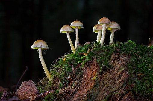 Mushroom, Nameko, Tree Stump, Moss, Mushroom Picking