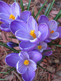 Flower, Crocus, Purple, Spring, Nature, Violet