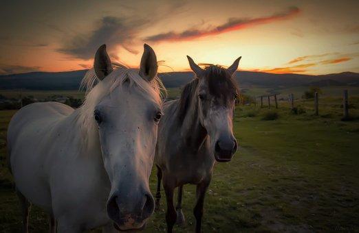 Horse, Horses, Nature, Mare, Stallion, Meadow, Pasha