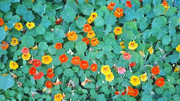 Nastartium, Wallpaper, Green, Orange, Yellow, Leaves