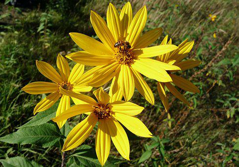 Yellow Flowers, Flowers, Bee, Nectar, Pollination