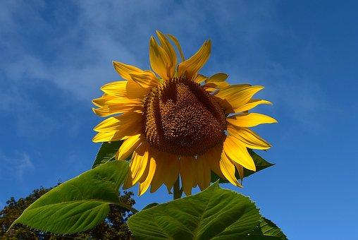 Sunflower, Yellow, Blue, Sky, Macro, Blooming, Summer