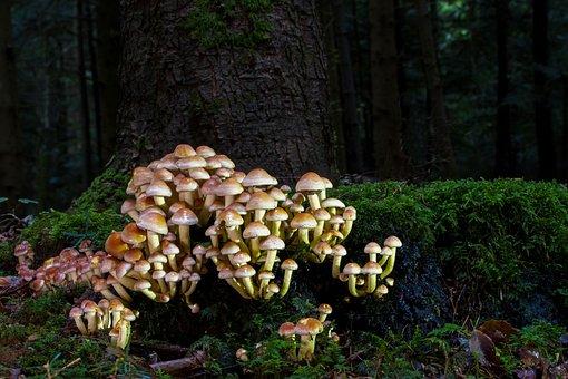 Mushroom, Nameko, Tree Stump, Autumn, Moss, Forest