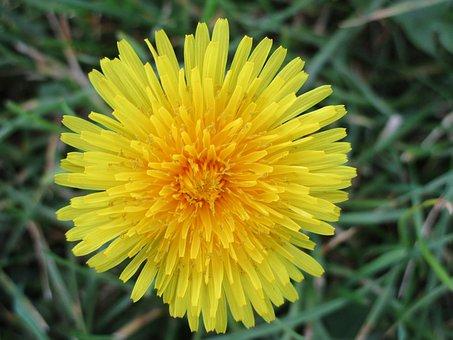 Dandelion, Flower, Yellow, Autumn, Walk, Nature