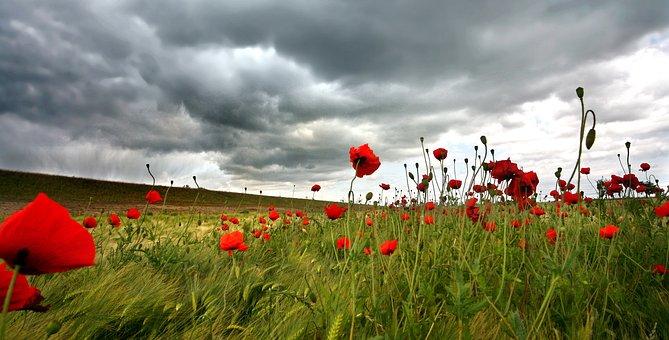 Poppies, Field, Klatschmohn, Thunderstorm, Weather