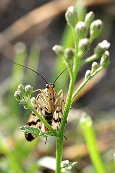 Insect, Long Snout, A Moth, Antennae, Red, Beak, Wings
