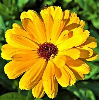Flower, Zinnia, Flower Garden, Single Bloom, Yellow