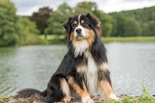 Dog, Australian Shepherd, Attention, Animal Portrait