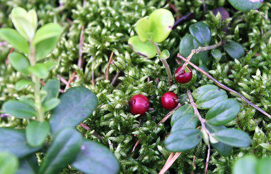 Bilberry, Forest, Fruit, Berries, Natural Food, Nature