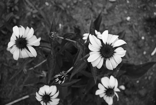 Black And White, Flowers, Minnesota