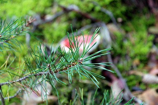 Pine, Sprig, Forest, Needles, Coniferous, Nature, Iglak